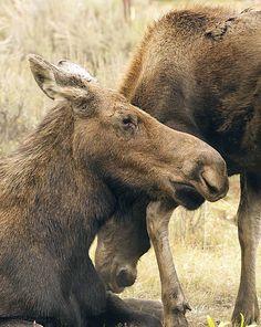 Blame shifts for dead moose