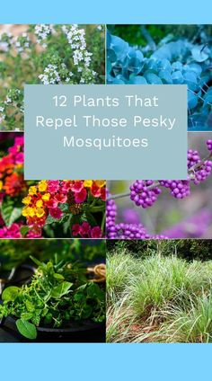 12 Plants That Repel Those Pesky Mosquitoes Merely growing these mosquito repelling plants isn't a standalone way to deter pests, but you can increase the insect-repelling power of the plants by releasing their essential oils. Window Box Plants, Window Box Flowers, Flower Boxes, Outdoor Plants, Garden Plants, Potted Plants, Mint Plants, Basil Plant, Mosquito Repelling Plants
