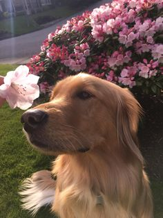 Golden Retriever Discover He ate the flower right after I took this picture Cute Dogs And Puppies, I Love Dogs, Doggies, Cute Little Animals, Retriever Puppy, Cute Creatures, Beautiful Dogs, Dog Life, Animals And Pets