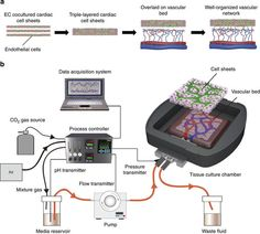 In vitro engineering of functional 3-D tissue with perfusable blood vessels.