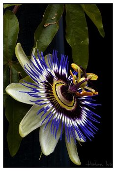 """Blue Passion Flower...""""Flowers are lemon-musk scented. Light green fruits have a tart apricot flavor and can be made into a delicious drink with the unmistakable passion fruit flavor (think Hawaiian Punch). Eat whole when they are """"fall into your hand"""" ripe. Leaves can be cooked or eaten raw in salad."""""""
