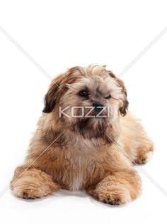 Posing Shi Poo - A Shitzu Poodle mix posing