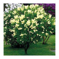 Lilac (Syringa vulgaris ) Primrose - Suttons Seeds and Plants All Flowers, Yellow Flowers, Beautiful Flowers, Primrose Plant, Sutton Seeds, Syringa Vulgaris, Lilac Tree, Lilac Bushes, Big Garden