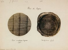sprigs of a fir tree, magnified eighty times, 1868