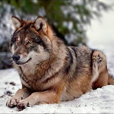 Magnifique!! Pretty Timber Wolf