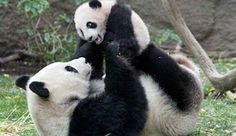 In this photo released by the San Diego Zoo taken Monday Dec. showing Giant Panda mom Bai Yun playing with her four-and-half-month old baby boy, Yun Zi, at their enclosure at the San Diego Zoo. Baby Animals Pictures, Animals Images, Zoo Animals, Cute Baby Animals, Animals And Pets, Funny Animals, Wild Animals, Baby Pictures, Panda Funny