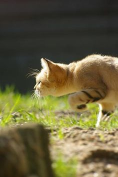 The DEA's first drug-sniffing cat, shown here uncovering an unlicensed crop of 'Supreme Nip'.