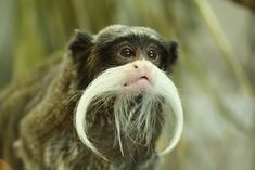 Today I learned about Tamarin monkeys  the animal kingdom's Benjamin Buttonwhiskered babes.