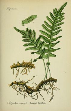 1886 Antique fern color lithograph original by LyraNebulaPrints Vintage Botanical Prints, Botanical Drawings, Botanical Art, Vintage Art, Botany Illustration, Illustration Botanique, Impressions Botaniques, Fern Plant, Nature Prints