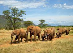 A herd of elephants moves across Samburu National Reserve in northern Kenya.