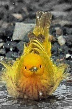 Yellow Warbler taking a bath