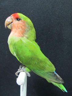 Peach Face Lovebird Real Bird Taxidermy Mount | eBay