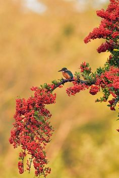 Kingfisher with Fish in Autumn Tint and Sunrise Gold by Mubi.A