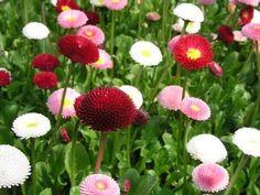 English Daisy Mix Flower Seeds (Bellis Perennis) - Under The Sun Seeds - 1 Flowers Perennials, Flowers, Bellis Perennis, Daisy, Flower Seeds, Cottage Garden, Daisy Flower, Perennials, Planting Flowers