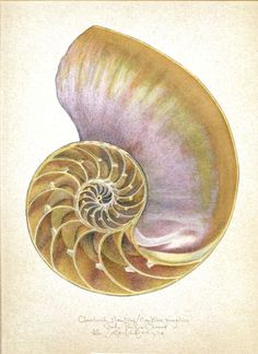 CHAMBERED NAUTILUS OCEAN SEASHELL INTERIOR original LARGE SIZE art print #Vintage