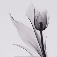 Tulip Prints by Marianne Haas , x-ray photography