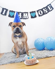 "599 Likes, 82 Comments - L U D V I K (@ludvik_the_staffy) on Instagram: ""IT'S MY FIRST BIRTHDAY ~ ✨ Follow my pawtners ✨ ♥ @Twiglet_the_staffy ♥ @maximus_the_staffie ♥…"""