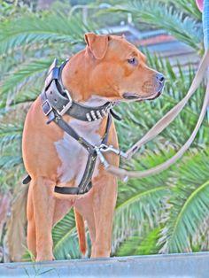 ... Pitbulls, Dogs, Animals, Animales, Pit Bulls, Animaux, Pet Dogs, Pitbull, Doggies