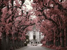 pink cherry trees | cherry blossom, cute, flower trees, flowers, pink, vintage - image ...