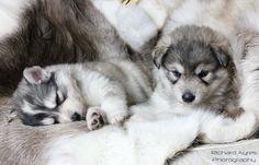 The girls. by Richard Ayres. #wolfdog #wolfalike #puppies