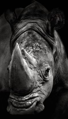 Rhino Facts                      AFRICAN RHINOS  There are two kinds of rhinoceros in Africa – the black rhino and the white rhino. The...
