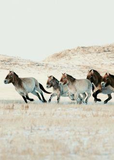 Herd of Przwalski's Horses (Takhi) by Astrid Harrisson