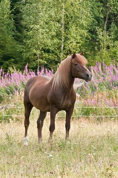 Finnhorse (Finland) Pretty Horses, Horse Breeds, Portrait, Scandinavian, Summertime, Creatures, Training, Sport, Animals