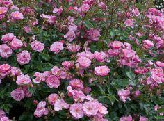 Lavender Meidiland® | Star Roses & Plants