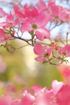 ~~Dogwood Flowers by mizuk@~~