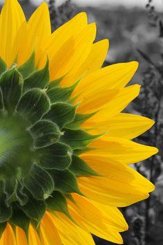 Sunflower by Johnson Li, via 500px