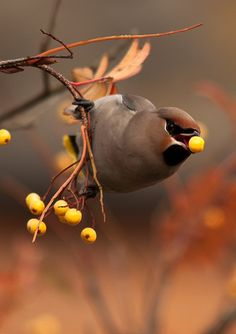 Waxwing..always with a berry in it's mouth