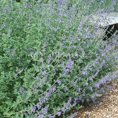 Catmint Nepeta faasenii /'Six Hills Giant/' Starter Plant Organically Grown