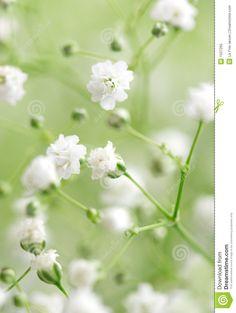 White Flowers Royalty Free Stock Photo - Image: 1537265