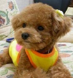 Pix For > Brown Teacup Poodle Full Grown