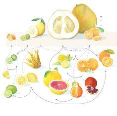 The evolution of Citrus. An excellent article by Nat Geo. read more here.http://www.nationalgeographic.com/magazine/2017/02/explore-food-citrus-genetics/?utm_source=Twitter&utm_medium=Social&utm_content=link_tw20170112ngm-citrus&utm_campaign=Content&sf50458565=1