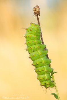 Saturnia pyri - caterpillar by Anton Simon on 500px