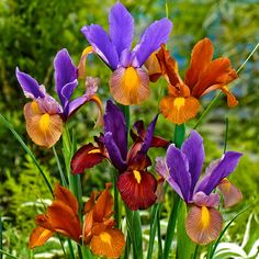 Dutch iris ,Eye of The Tiger, '(bulbs), Deer Resistant ,Great for Containers Daffodil Bulbs, Bulb Flowers, Large Flowers, Daffodils, Flower Pots, Dutch Iris, Garden Bulbs, Plant Supports, Special Flowers