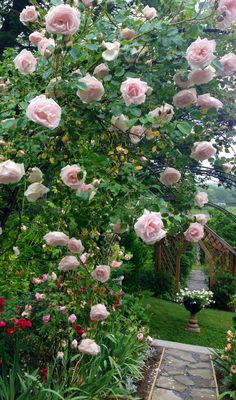 Roses at Stonehouse farm Maine.