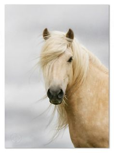 Beautiful White Horses of Spain....they are also taken to Vienna & trained