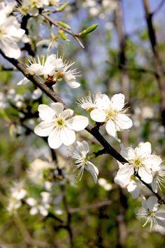 Prunus spinosa (Schwarzdorn)