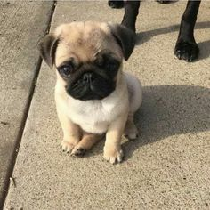 Visit our internet site for even more relevant information on pug dogs. It is a great location to learn more. Visit our internet site for even more relevant information on pug dogs. It is a great location to learn more. Pug Love, I Love Dogs, Cute Funny Animals, Cute Baby Animals, Cute Baby Pugs, Animals Dog, Cute Dogs And Puppies, Doggies, Puppies Puppies