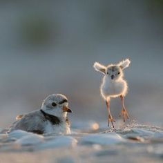 Look Ma! by eric hance | 500px...baby plover playfully trying to fly at 3 days old.