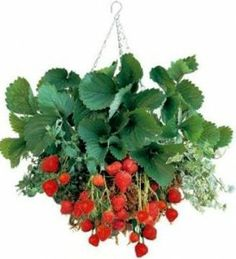 This looks so great! Strawberries in a hanging pot. One of the few plants that can bear fruit and flower at the same time.