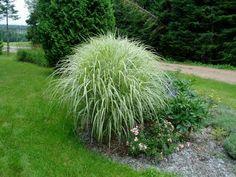Lovegrass Farm: Miscanthus sinensis 'Variegatus' Ornamental Grass  for privacy hedge