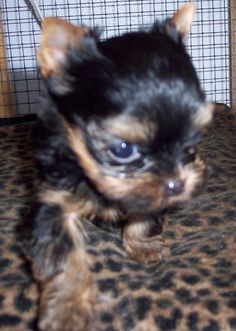 This is one of my yorkie male studs.