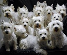 a lot of westies Is this a cuddle of Westies? A bark of Westies? Most likely its just a whole lotta craziness right there! Beautiful Dogs, Animals Beautiful, Cute Animals, Westies, Terriers, West Highland White Terrier, West Terrier, Highlands Terrier, Dog Rules