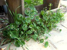 Enough Miner's lettuce for a salad California Garden, Lettuce, Cooking Tips, Weed, Salad, Plants, Marijuana Plants, Salads, Plant