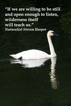 """""""If we are willing to be still and open enough to listen, wilderness itself will teach us.""""  Naturalist Steven Harper – On image of elegant TRUMPETER SWAN in ALASKA -- Explore quotes on discovering the sacred in life at http://www.examiner.com/article/learning-to-find-the-sacred-life"""
