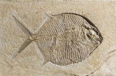 Nine fossil ray-finned fish, Gyrodus hexagonus, from the Upper Jurassic Epoch of Solnhofen, Bavaria, Germany