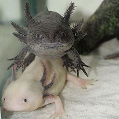 "Most axolotls are dark grey/green or black, but there are some white ones found in captivity. They can be traced back to a ""mutant male that was shipped to Paris in 1863."" 
